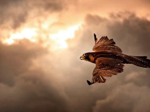 Flying-Falcon