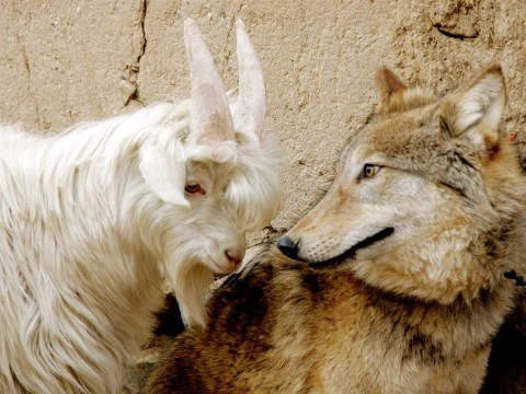 ss-140130-unlikely-friends-wolf-goat.ss_full